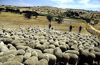 1181.Pastoreo de ovejas